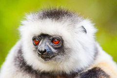 lemur Stockfotografie