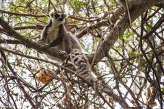 lemur Stockfoto