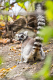 lemur Stockbilder