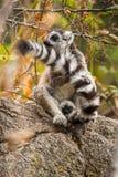lemur Fotografia de Stock