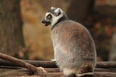 Lemur Zdjęcie Royalty Free