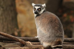 Lemur Zdjęcia Royalty Free