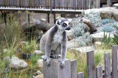 lemur Royalty-vrije Stock Foto