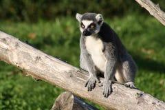 lemur Lizenzfreies Stockbild