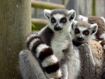 lemur Immagine Stock