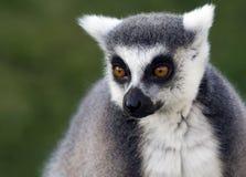 lemur Стоковая Фотография