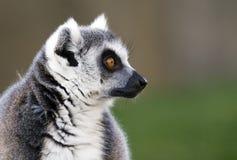 lemur Стоковое Фото