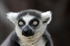 Lemur. Moscow ZOO lemur monkey animal Stock Photos