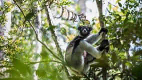 lemur Lizenzfreie Stockfotos