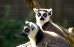 lemur Stock Afbeeldingen