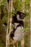 Lemur. Wild Indri Indri in Madagascar Stock Photo