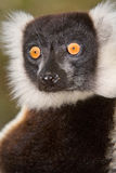 Lemur. Black and White Ruffed Lemur in Madagascar Stock Photos