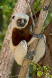 Lemur. Coquerel's Sifaka, Madagascar Stock Photos