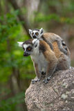 Lemur. Ringtail Lemur with baby in Madagascar Stock Images