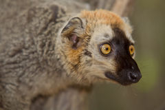 Lemur. Red Fronted Brown Lemur, Madagascar Stock Photography