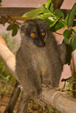 Lemur. Wild Common Brown Lemur, Madagascar Royalty Free Stock Photography