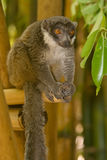 Lemur. Wild Mongoose Lemur in Madagascar Royalty Free Stock Photography