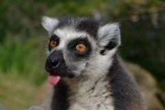 lemur Royalty-vrije Stock Foto's
