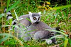 Lemur Stock Photography