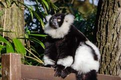 Lemur Royalty Free Stock Photography