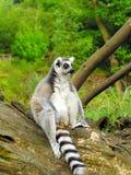 lemur Royaltyfri Foto