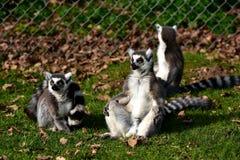 lemur Photographie stock libre de droits