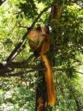 lemur Foto de archivo libre de regalías