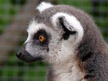 Lemur Royalty Free Stock Photos