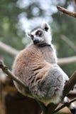 lemur fotografía de archivo