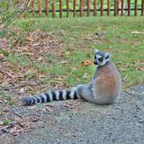 lemur photographie stock