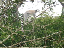 lemur Fotografie Stock Libere da Diritti