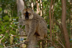 Lemur affronté rouge de Brown Images libres de droits
