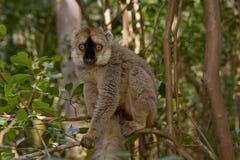 Lemur affronté rouge de Brown Images libres de droits