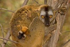 Lemur afrontado rojo de Brown fotografía de archivo
