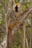 Lemur afrontado rojo de Brown Imagen de archivo