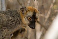 Lemur afrontado rojo de Brown Imágenes de archivo libres de regalías