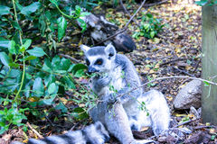 Lemur at afternoon. Photography made in madrid in spring Royalty Free Stock Photos