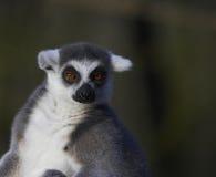 Lemur Anillado-atado que toma el sol fotos de archivo libres de regalías