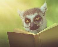 Lemur Animal Reading Book with Glasses Stock Photos