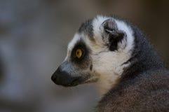 Lemur. Animals zoo mammals monkeys lemur Stock Image