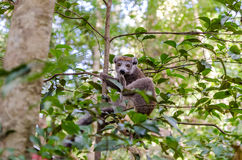 Lemur in Ankarana Park Madagascar Royalty Free Stock Photos