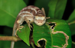 Lemur Anole Royalty Free Stock Photography