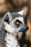 Lemur_ As that bored Royalty Free Stock Photos