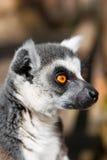 Lemur_ As that bored. Lemur close-up, looking into the distance-kada Royalty Free Stock Photos
