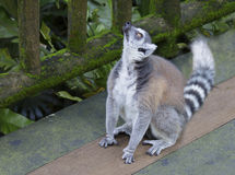 The lemur asks delicious food. Ring-tailed lemur or cat-lemur. Belongs to the suborder Micronesia apes of the Primate order. Cat-like lemurs found on the island Royalty Free Stock Image