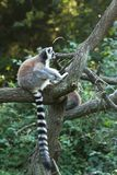 Lemur atado Fotos de Stock
