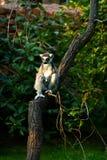 Lemur atado Fotos de Stock Royalty Free