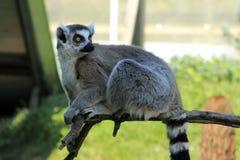 Lemur atado anillo Fotos de archivo libres de regalías