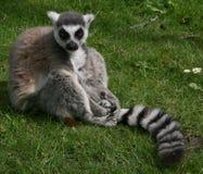 Lemur atado anillo Foto de archivo