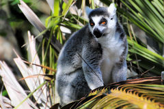 Lemur attentif image stock